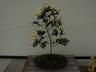 Chrysanthemum x morifolium 'Crystal Falls' - Anemone Mum