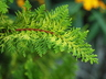 Chamaecyparis obtusa 'Fernspray Gold' - Hinoki False Cypress