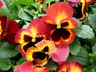 Viola x wittrockiana 'Fire' [sold as Delta (TM)] (Delta Group) - Pansy
