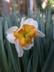 Narcissus 'Parisienne' - Split-Corona Daffodil