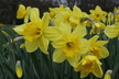 Narcissus 'Carlton' - Large-Cupped Daffodil