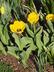 Tulipa 'Hamilton' - Fringed Tulip