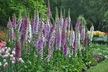 Digitalis purpurea (Excelsior Group) - Foxglove