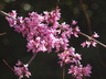 Cercis canadensis 'High Country Gold' - Eastern Redbud