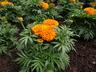 Tagetes erecta 'Moonsong Deep Orange' - African Marigold