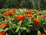 Zinnia marylandica 'PAS553645' [sold as Double Zahara Fire (R)] (Double Zahara Group) - Zinnia