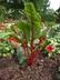 Beta vulgaris 'Ruby Red' (Cicla Group) - Swiss Chard