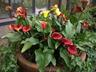 Zantedeschia 'Flame' - Calla-Lily