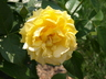 Rosa 'WEKvossutono' [sold as Julia Child (TM)] - Floribunda Rose