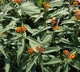 Asclepias curassavica - Blood-Flower