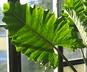 Alocasia 'Portodora' - Elephant's-Ear-Plant