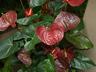 Anthurium 'Miami Beauty' - Anthurium