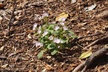 Claytonia caroliniana - Carolina Spring-Beauty