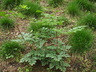 Actaea simplex (Atropurpurea Group) - Kamchatka Bugbane