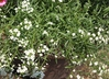 Lobularia 'INLBUSNOPR' [sold as Snow Princess (R)] - Sweet-Alyssum