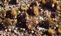 Sempervivum 'Red Beauty' - Houseleek