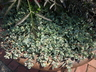Hylotelephium cauticola 'Coca Cola' - Stonecrop