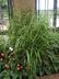 Miscanthus sinensis 'Zebrinus' - Zebra Grass