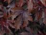 Hibiscus acetosella 'Mahogany Splendor' - Coppertone Hibiscus
