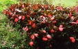 Impatiens 'Salmon Bisque' (Infinity Group) - New Guinea Impatiens