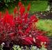 Celosia argentea 'China Town' (Plumosa Group) - Celosia