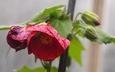 Abutilon 'Nabob' - Flowering-Maple
