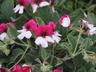 Pelargonium 'Splendide' - Pelargonium
