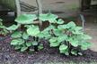 Colocasia esculenta 'Sangria' - Elephant's-Ear