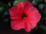 Hibiscus rosa-sinensis 'Pink Versicolor' - Chinese Hibiscus