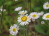 Erigeron pulchellus 'Lynnhaven Carpet' - Robin's-Plantain