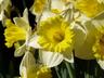Narcissus 'Las Vegas' - Trumpet Daffodil