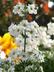 Primula malacoides 'Prima White' - Primrose