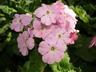 Primula obconica 'Libre Pink' - Primrose