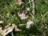 Scilla bifolia 'Rosea' - Twinleaf Squill