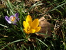 Crocus chrysanthus - Crocus