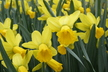 Narcissus 'Larkwhistle' - Cyclamineus Daffodil
