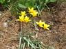 Tulipa clusiana var. chrysantha - Lady Tulip