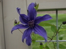Clematis 'Cleminov 51' [sold as Sapphire Indigo (TM)] (Integrifolia Group) - Solitary Clematis