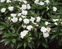 Impatiens 'Visinfwhi' [sold as Infinity White (R)] (Infinity Group) - New Guinea Impatiens