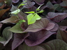 Ipomoea batatas 'Sweet Caroline Sweetheart Red' - Sweet-Potato