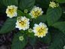 Lantana camara 'Balucemlow' [sold as Lucky Lemon Glow (TM)] (Lucky Group) - Lantana