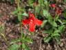 Ruellia elegans 'Ragin' Cajun' - Wild Petunia