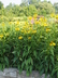 Echinacea 'Leilani' - Coneflower