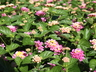 Lantana camara 'Bant Pin09' [sold as Bandana Pink (R)] (Bandana Group) - Lantana