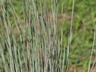 Schizachyrium scoparium 'Prairie Blues' - Little Bluestem