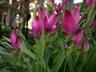 Curcuma alismatifolia 'Curtina' [sold as Siam Scarlet (TM)] - Curcuma