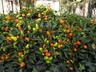 Capsicum annuum 'Karneval Orange' - Ornamental Pepper