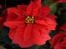 Euphorbia pulcherrima 'NPCW05102' [sold as Valentine (TM)] - Poinsettia