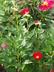 Paeonia 'America' - Hybrid Herbaceous Peony