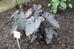 Colocasia esculenta 'Diamond Head' - Elephant's-Ear